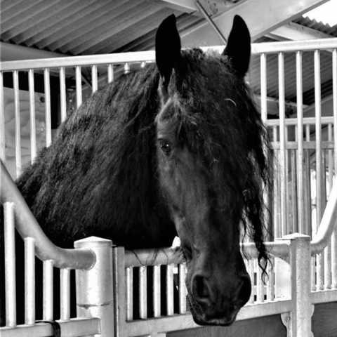 0000000000_Black_Friesian_Horse_in_Stable_.png
