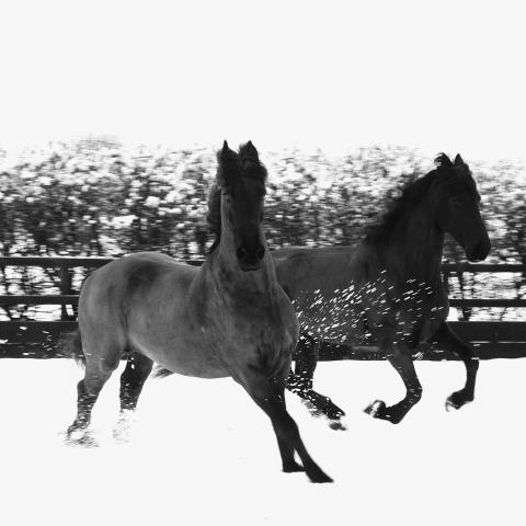 0000000000_Black_Horses_in_snow.jpg