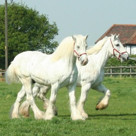 000000000 A Png 0000000000 White Shire Horses Jpg