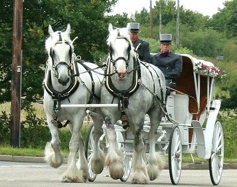 Shire Horse Wedding Carriage.jpg